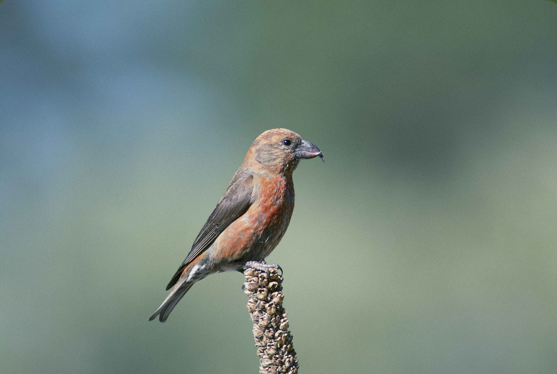 Crossbill (PublicDomainImages from Pixabay)